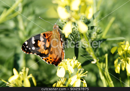 Painted Lady Butterfly stock photo, Painted lady butterfly (Vanessa virginiensis)  in a field of wild mustard by Tyler Olson