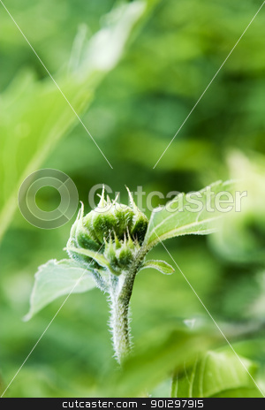 Wild Sunflower stock photo, Wild Sunflower (Helianthus annuus) by Tyler Olson