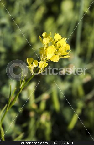 Wild Mustard Plant stock photo, Wild Mustard (Sinapsis arvensis) (a.k.a. Brassica kaber) by Tyler Olson