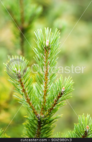 Pine Tree stock photo, Pine Tree detail, isolated against a forest background by Tyler Olson