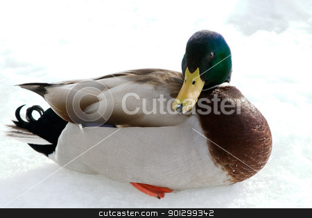 Mallard Duck stock photo, A mallard duck on a background of snow and ice. by Tyler Olson