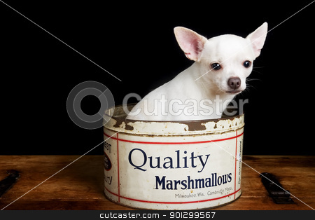 Chiwawa stock photo, A white chihuahua posing for the camera by Tyler Olson
