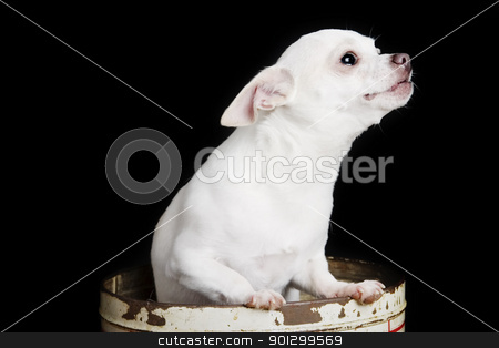 Chiwawa in a Can stock photo, A chihuahua posing for the camera in a can. by Tyler Olson