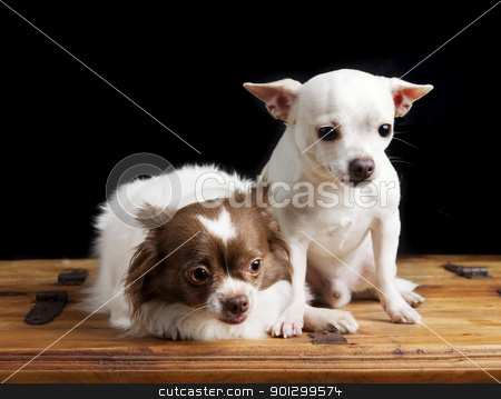 Cute Chihuahua Pair stock photo, A chihuahua couple posing for the camera by Tyler Olson