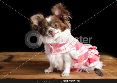 Pregnant Chiwawa stock photo, A chihuahua posing for the camera by Tyler Olson