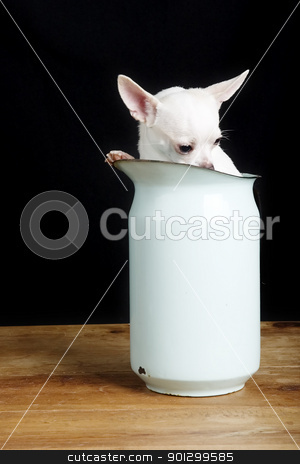 Shy Chihuahua stock photo, A shy chihuahua hiding in a pitcher. by Tyler Olson