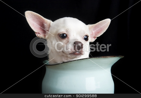 Thoughtful Chihuahua stock photo, A thoughtful chihuahua. by Tyler Olson