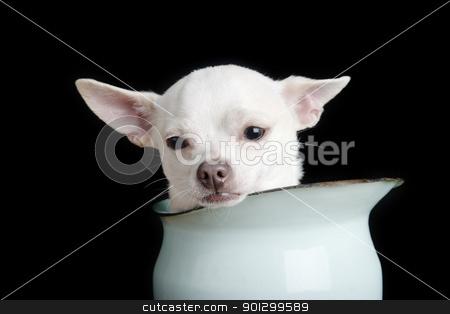 Sad Chiwawa stock photo, A chihuahua looking sad. by Tyler Olson
