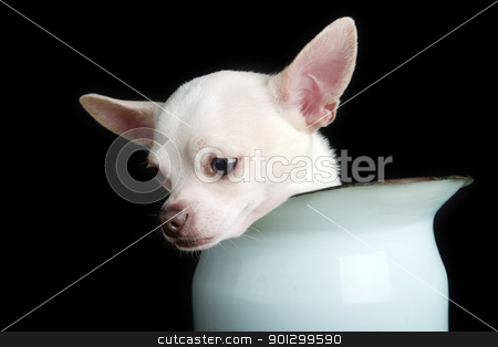 Sorrow stock photo, A small chihuahua showing sorrow. by Tyler Olson