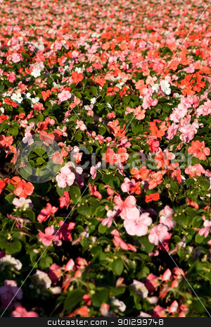 Pink flower Background stock photo, A pink flower background with shallow depth of field. by Tyler Olson