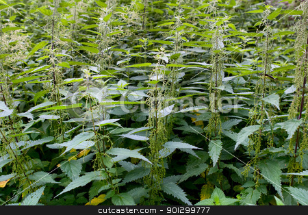 Stinging Nettle Background stock photo, Wild stinging nettle background by Tyler Olson