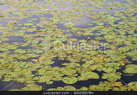 Lilly Pad Background stock photo, A lily pad background of green lilly pads and a few yellow flowers. by Tyler Olson