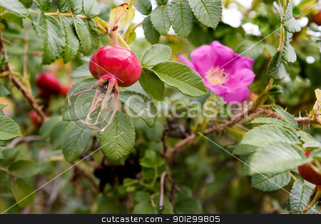 Rosehip Background stock photo, Rosehip on a background of a rose bush by Tyler Olson
