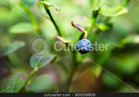 Wild Blueberry Detail stock photo, A closeup of a blueberry isolated against a bokeh background of leaves by Tyler Olson