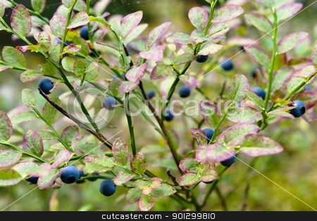 Blueberry Background stock photo, A blueberry background with a shallow depth of field by Tyler Olson