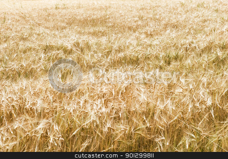 Ripe Wheat Field stock photo, A golden wheat field background by Tyler Olson