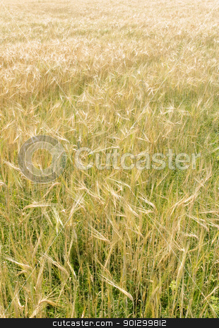 Gold Wheat Field stock photo, A golden wheat field background by Tyler Olson