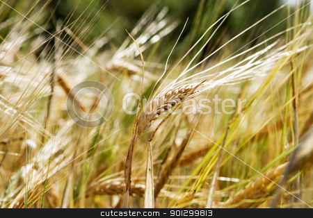 Wheat Background stock photo, A wheat background with a single head of wheat isolated against a bokeh background by Tyler Olson
