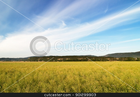 Canola Field stock photo, A ripe yellow canola field in moutain foothills by Tyler Olson