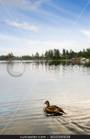 Swimming Duck stock photo, A duck swimming in a small lake by Tyler Olson