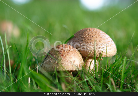 Wild Mushroom Detail stock photo, Two wild mushrooms growing in grass by Tyler Olson
