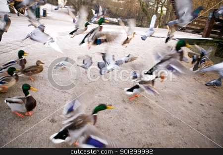 Frantic Ducks stock photo, A group of mallard ducks fly up in a quick escape.  Image has motion blur. by Tyler Olson
