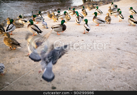 Moody Ducks stock photo, A group of ducks in a moody styelized image. by Tyler Olson