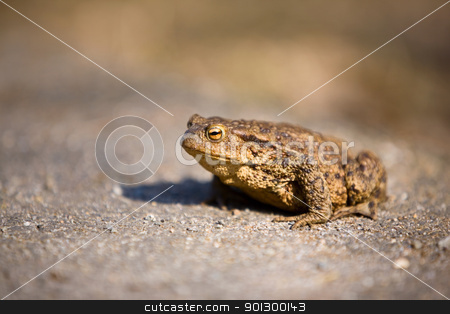 Bullfrog stock photo, A close up detail of a bullfrog on pavement, taken with a shallow depth of field. by Tyler Olson