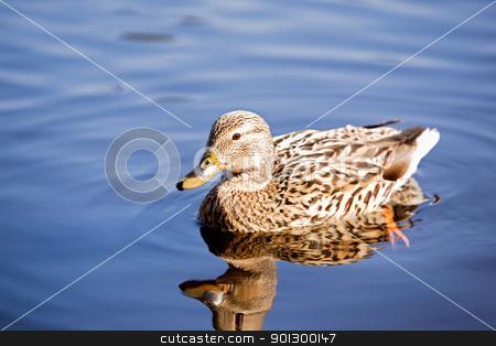 Female Mallard Duck stock photo, A female mallard duck peacefully swimming; by Tyler Olson