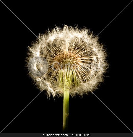 Dandelion Glow stock photo, A dandelion isolated on black by Tyler Olson