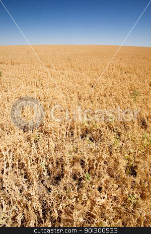Pea Field stock photo, A ripe pea field on the flat prairies by Tyler Olson