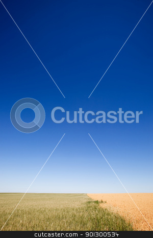 Wheat and Peas Contrast stock photo, A wheat field contrasted against a pea field with a flat prairie horizon by Tyler Olson
