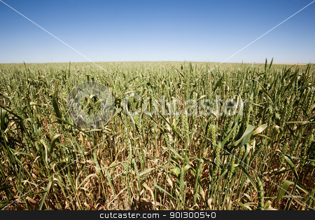 Wheat Close UP stock photo, Wheat in a field against a clear blue sky taken from a low vantage point. by Tyler Olson