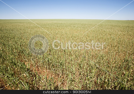 Wheat Field stock photo, Wheat in a field against a clear blue sky taken from a low vantage point. by Tyler Olson
