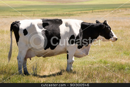 Unamused Holstein Cow stock photo, A holstein cow standing calmly in the grass looking at the camera with a sly look :) by Tyler Olson