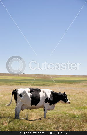 Cow Swatting Flies stock photo, A cow standing swatting flies with it's tail on the prairies with large copy space in the sky by Tyler Olson