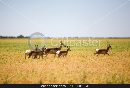 Pronghorn Antelope Family stock photo, A family of pronghorn antelope running in a field. by Tyler Olson