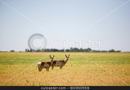 Two Prairie Antelope stock photo, A prairie antelope in a field standing alert by Tyler Olson