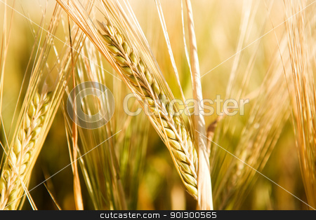 Wheat Head Detail stock photo, A head of wheat detail with background out of focus by Tyler Olson