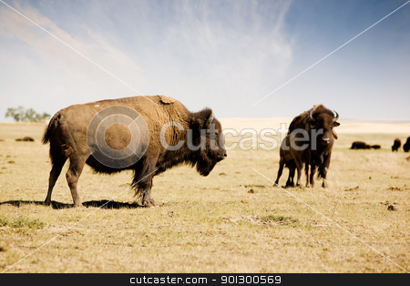 Bison stock photo, A bison / buffalo standing his ground on the paririe. by Tyler Olson