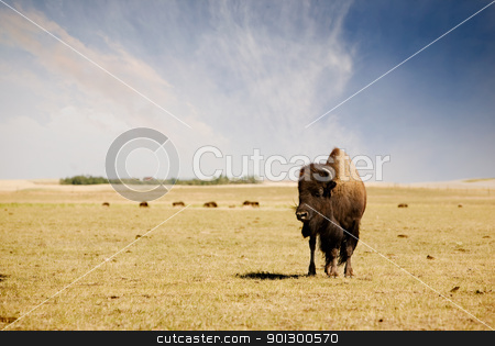 Buffalo stock photo, A bison / buffalo standing his ground on the paririe. by Tyler Olson