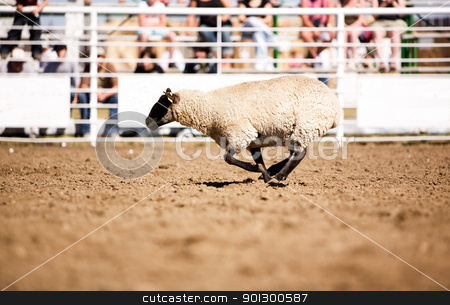 Running Sheep stock photo, A sheep running at a local rodeo by Tyler Olson