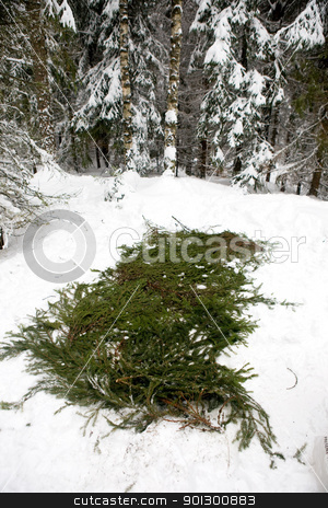 Spruce Branch Tent Base stock photo, Spruce branches placed over snow to protect a tent. by Tyler Olson