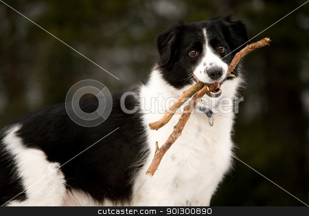 Happy dog stock photo, A dog holding a stick read to play fetch by Tyler Olson