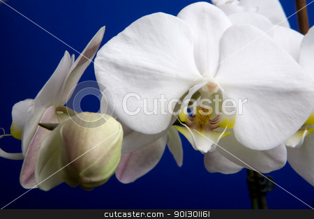 White Orchid stock photo, A close up of an orchid flower; Phalaenopsis Amabilis by Tyler Olson