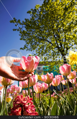 Pick a Tulip stock photo, A hand picking a tulip from a flower garden by Tyler Olson