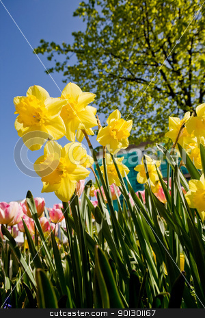 Yellow Daffodil stock photo, Yellow Daffodil in a flower bed by Tyler Olson