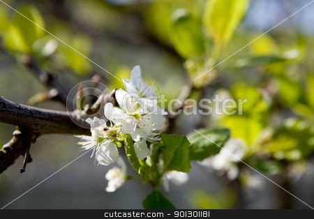 Plum Tree Blossom stock photo, A blossom on a plum tree in spring by Tyler Olson