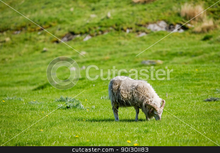 Sheep stock photo, A sheep with horns grazing in the pasture. by Tyler Olson