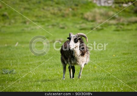 Sheep Pasture stock photo, A sheep with horns in a green pasture by Tyler Olson